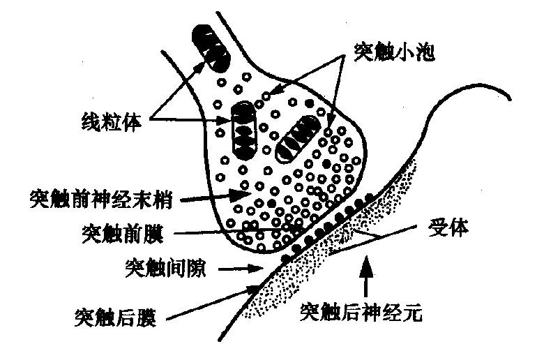 后一神经元的树突,胞体或轴突膜则称为突触后膜