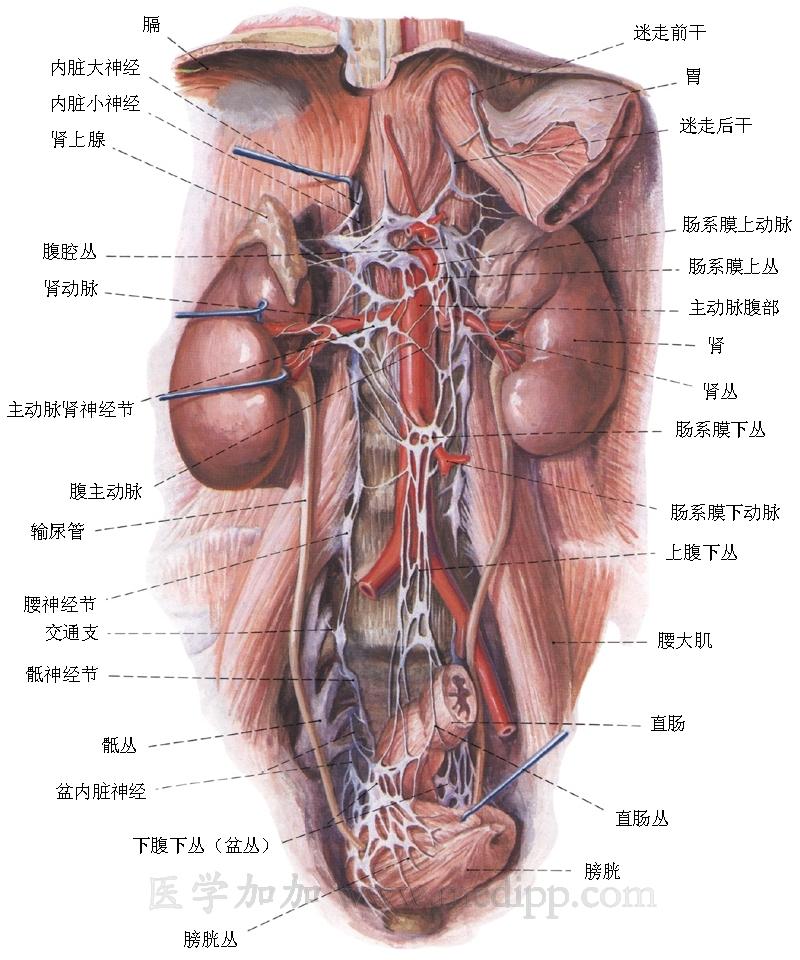 腰部神经结构图