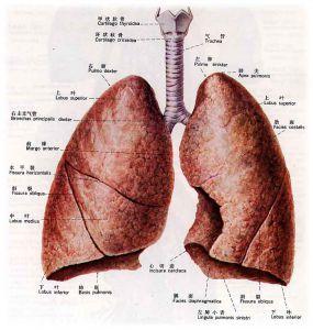 肺解剖手绘图