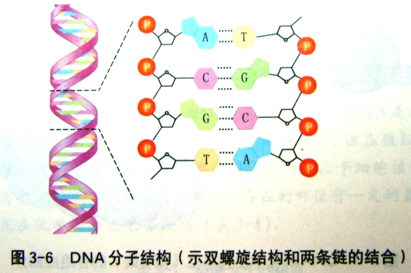 手绘一个核苷酸分子结构分子